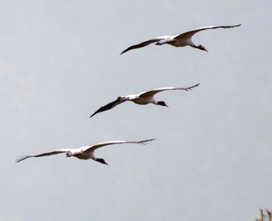 Black Necked Cranes