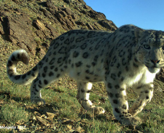 A Snow Leopard Tracking Expedition 2020