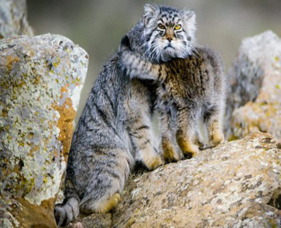 Filming the Pallas Cats