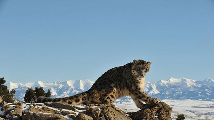 A Mongolian snow leopard